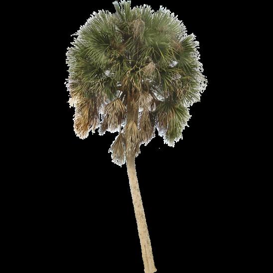 Palm Tree 10-SMALL