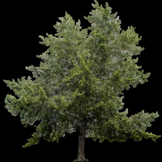 Big Maple Tree-SMALL