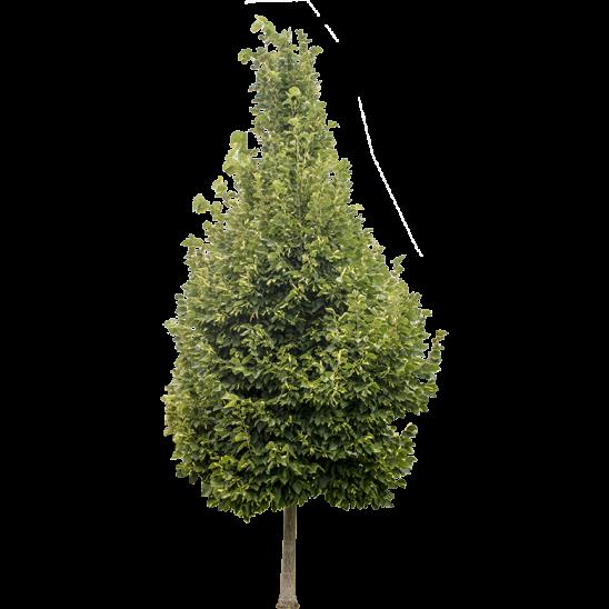 Cone Shaped Ash Tree-SMALL