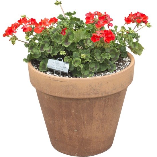 Flower with red petals in a red clay pot-SMALL