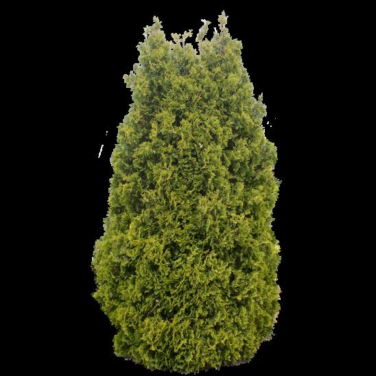 Green Conifer Tree-SMALL