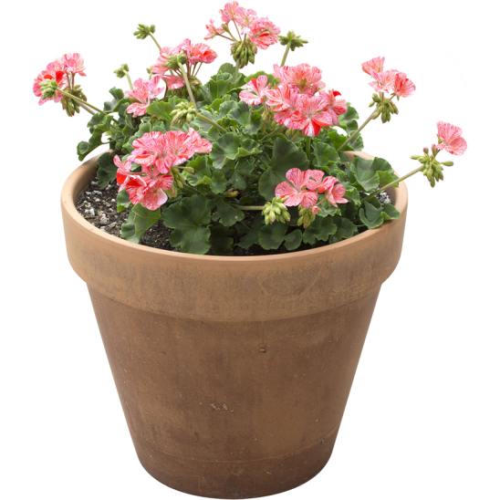 Light Pink Flowers in pot-SMALL