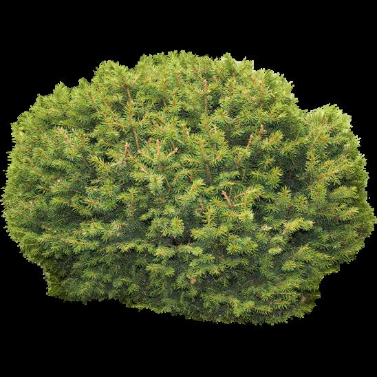 Oval Shaped Bush-SMALL