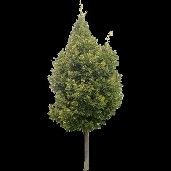 Small Ash Tree-SMALL