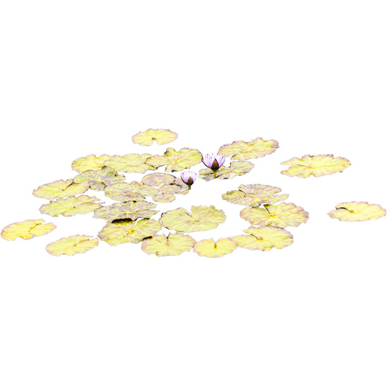 Small Lily Pads in water-SMALL