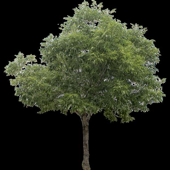 Smallish Ash Tree-SMALL