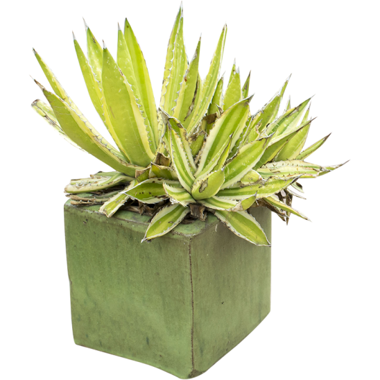 Spiky plant in cube-SMALL