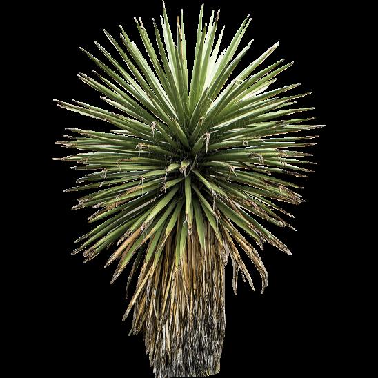 Yucca Tree-SMALL