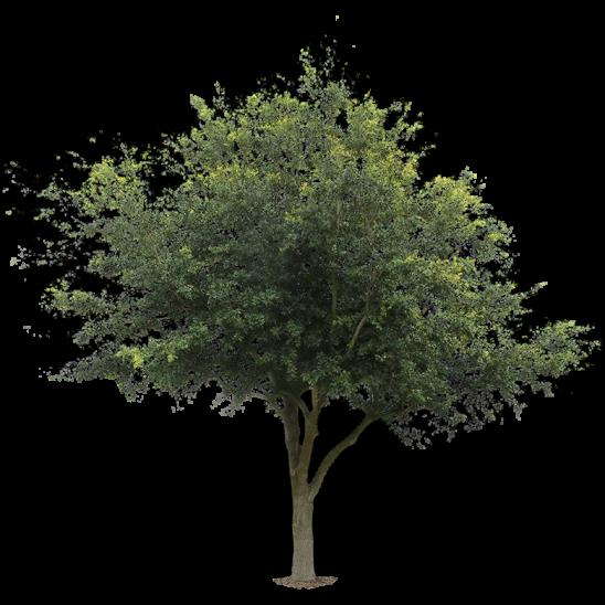 Oak Tree-SMALL