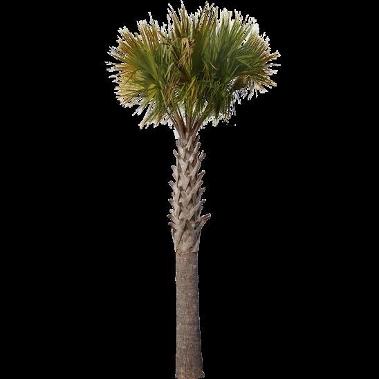 Palm Tree 07-SMALL