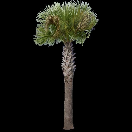 Palm Tree 08-SMALL